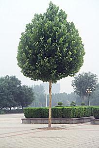 一颗火炬形状的绿植