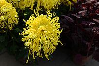 美丽的黄菊花