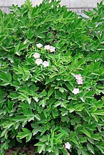 牡丹花叶丛中盛开的小花朵