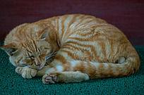 睡觉的懒猫