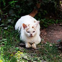 伺机出击的猫咪