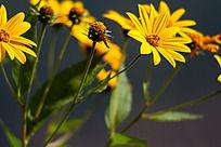 一朵黄色的雏菊