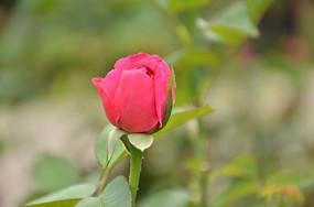 一朵小紅花