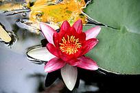 一朵美丽的观音莲荷花