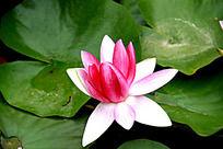 一朵盛开的荷花花朵图片