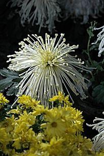 优雅的白菊花