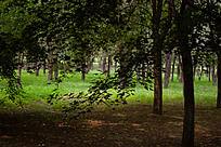 公园里的枫树林
