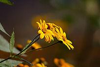 黄色的野菊花
