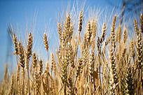 小麦与天空