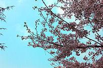 蓝天下的樱花树