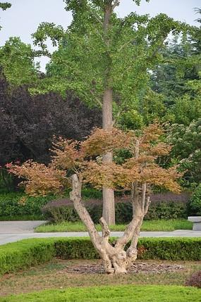 潍坊植物园里的红枫树