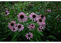开放的粉色松果菊与它的绿叶