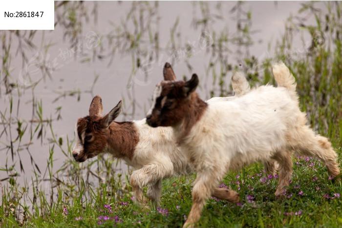 两只奔跑着的小羊羔图片
