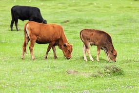 三只黄牛在草地上吃草