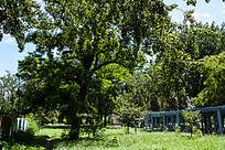 草坪上的一棵参天大树