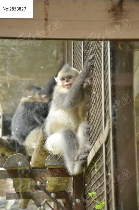 滇金丝猴 猴图片