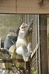 滇金丝猴 猴
