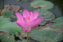 粉红的盛开的荷花