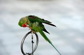 绿色的鹦哥