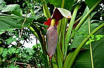 香蕉树的果实