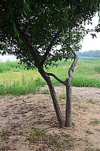 依靠在一起生长的树木