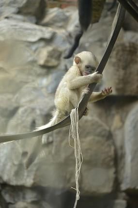 一只可爱的小滇金丝猴
