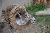 一只盘羊侧面