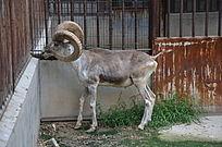 一只盘羊看着铁栏外