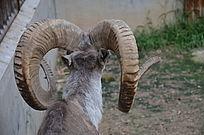 一只盘羊羊角特写