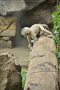 一只小滇金丝猴