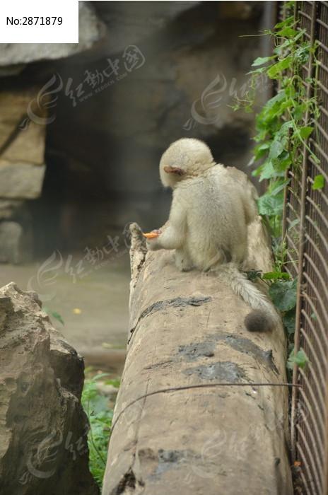 一只小滇金丝猴背面特写图片