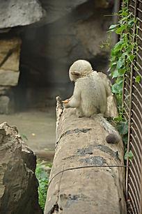 一只小滇金丝猴背面特写