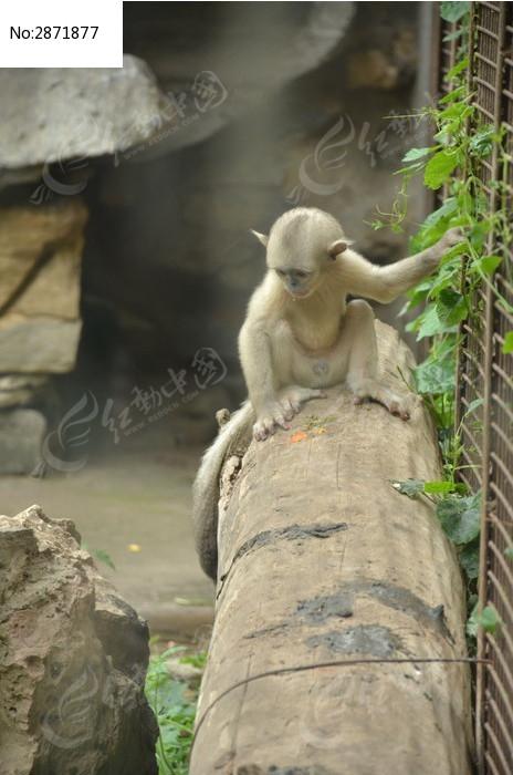 一只小滇金丝猴正面特写图片