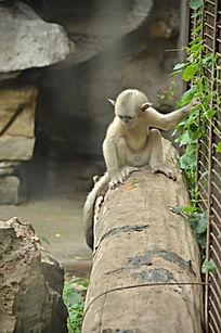 一只小滇金丝猴正面特写