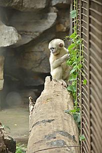 一只坐在木桩上的小滇金丝猴