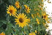 草丛里的黄色雏菊