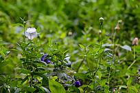 草丛中几多野花含苞待放