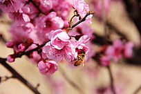 娇艳的粉红色桃花