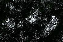 茂密的松树林