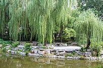 水边翠绿的垂柳