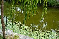 水边的柳枝和浮萍