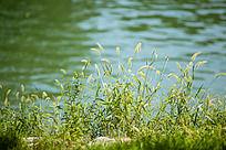 水边的一簇狗尾草