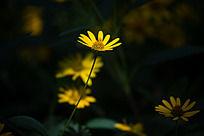 一株黄色的野菊花