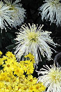 名贵白菊花品种白玉珠帘