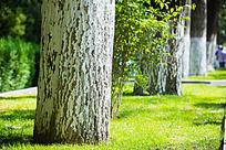 一排粗壮的大梧桐树
