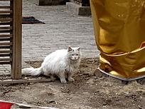 白色的流浪猫