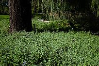 大树下茂密的青草