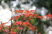 红叶叶子的树木枝干