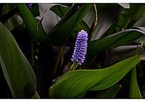 紫色梭鱼草和它的绿色大叶子