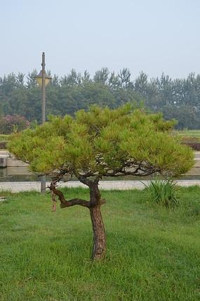 弥河公园草地上的小松树
